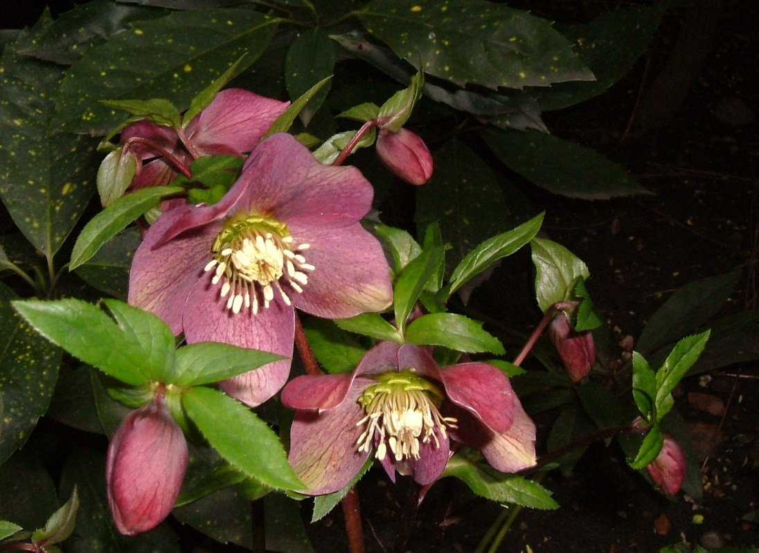 The most beautiful hellebores in St Anne Churchyard