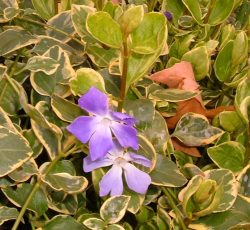 Periwinkle flowering in February in Trinity Square garden