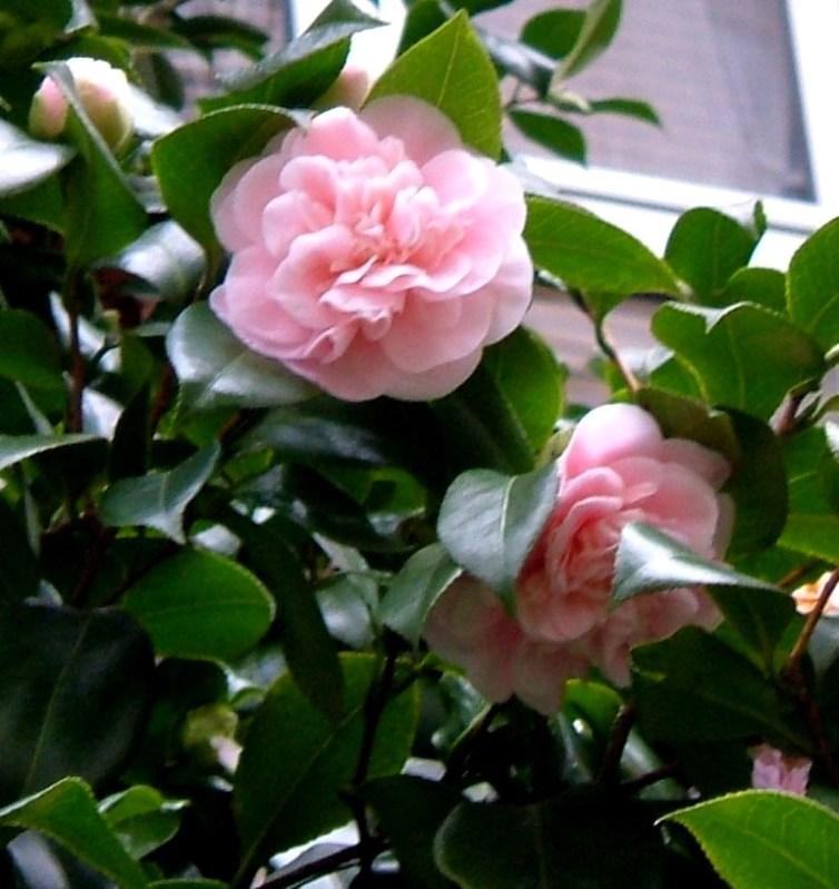 Camellias in Postmen's Park
