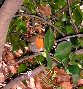 The robin following me around the garden