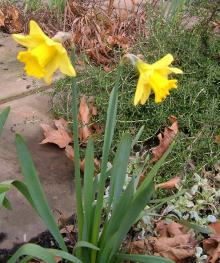 The first daffodils I have seen