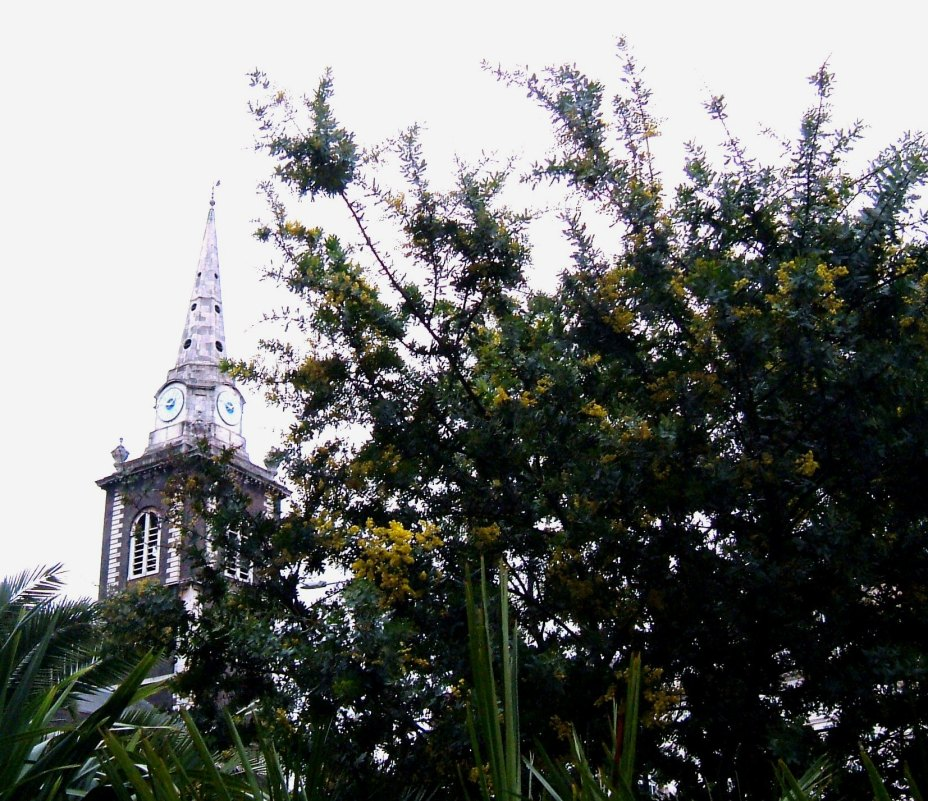Mimosa in March at St Botolph Without