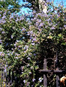 Ceanothus about to burst into bloom