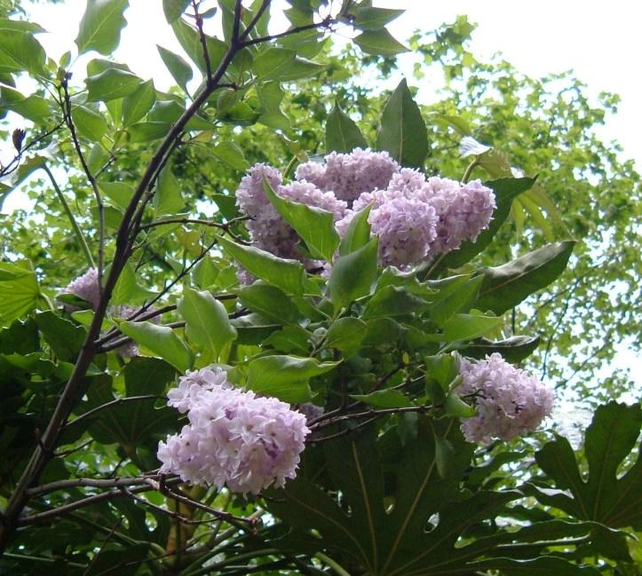 Fragrant lilac