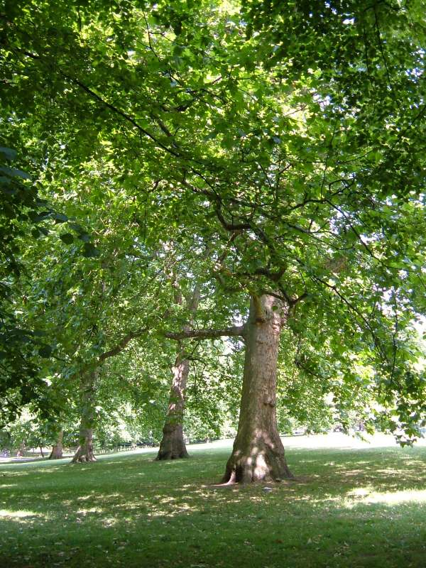 Welcome shade in Green Park on a hot day