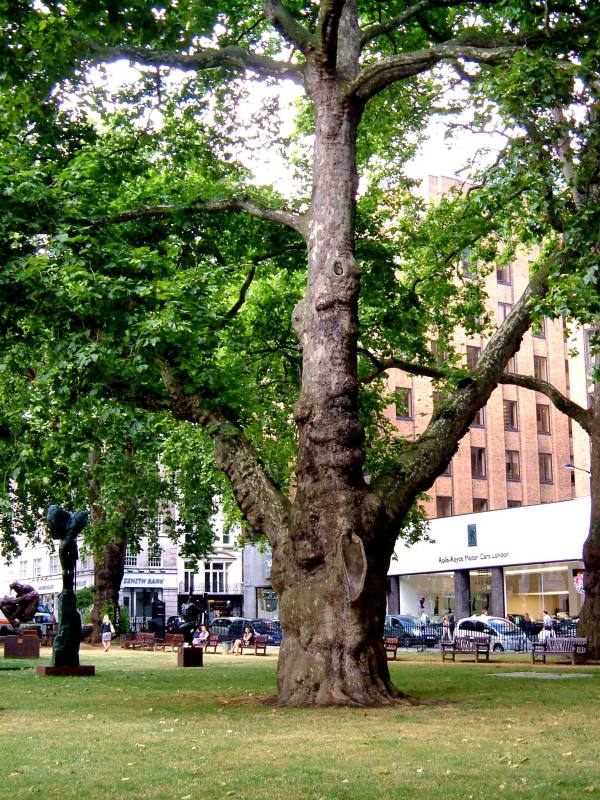 One of the old plane trees in Berkeley Square, with the new buildings on the west side of the Square in the background