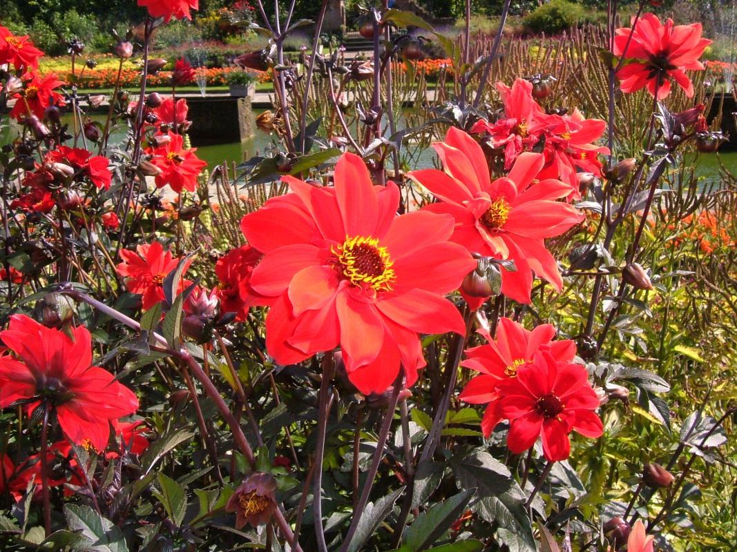 Dahlias in Kensington Palace Garden