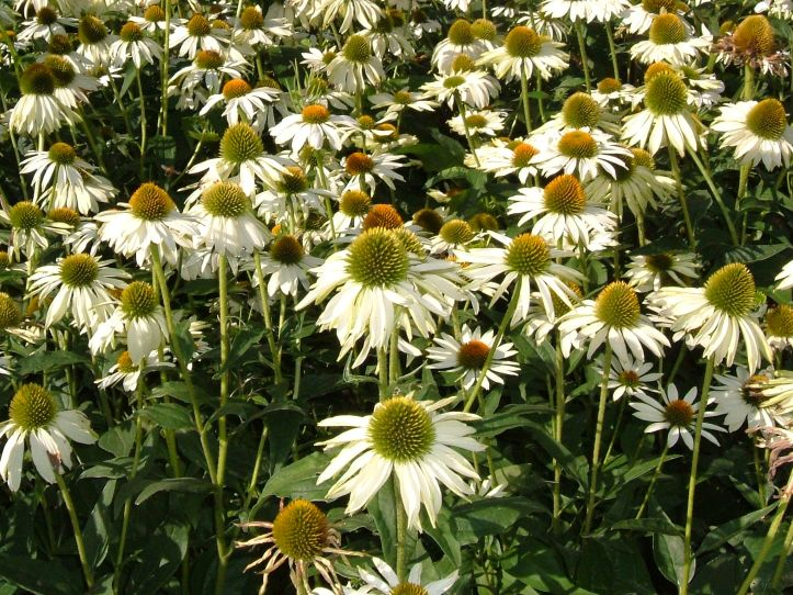 Echinacea 'White Wings'