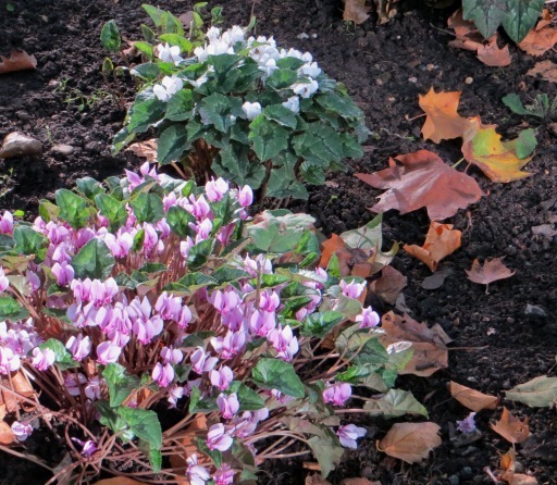 Autumn cyclamens in Berkeley Square