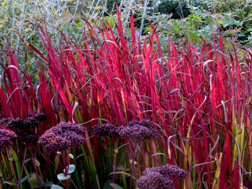 Japanese blood grass (Imperata cylindrica) and sedums