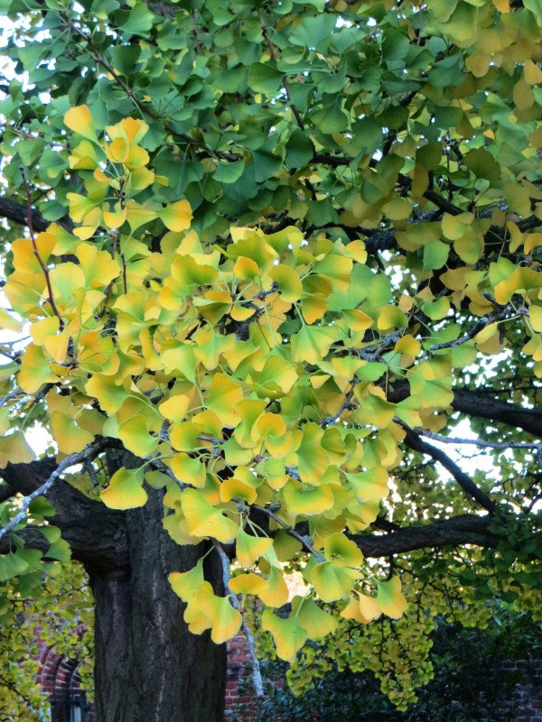 Gingko Biloba changing colour