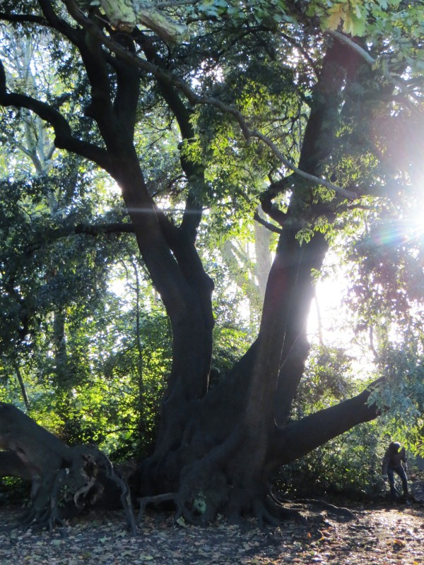 The oldest oak tree at Fulham Palace