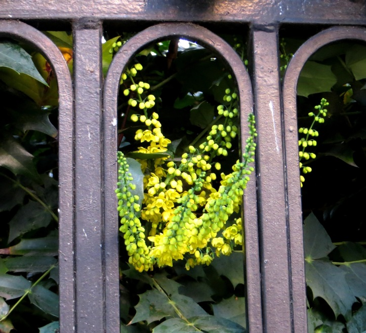 A mahonia in Red Lion Square