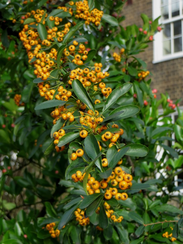Pyracantha berries in January in St John's Wood