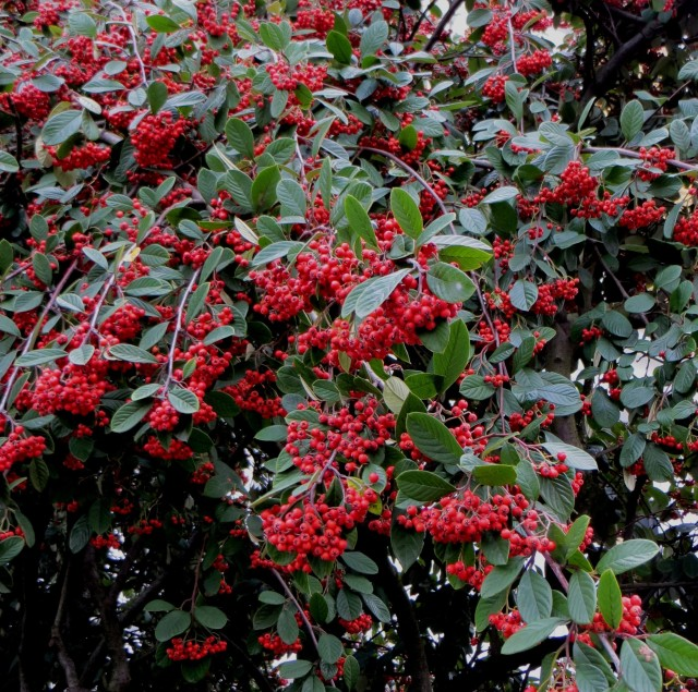 Cotoneaster berries in January in St John's Wood