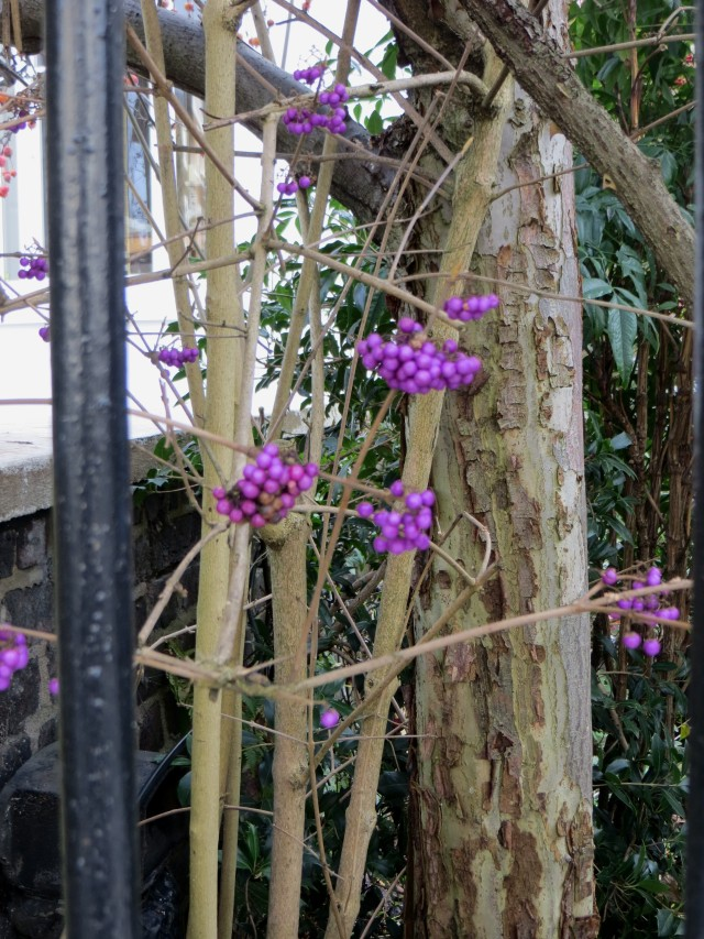 Callicarpa Dichotoma, the 'Beautyberry'