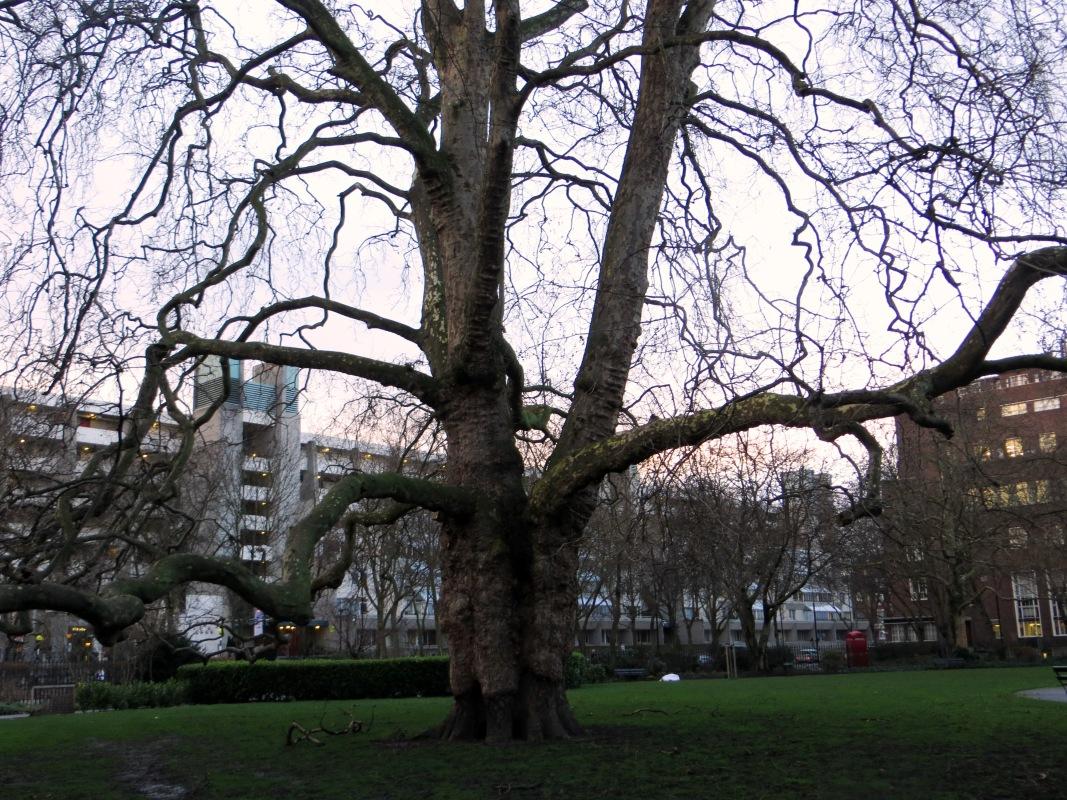 Plane tree in Brunswick Square
