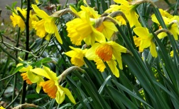 Daffodils in London