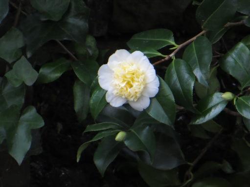White Camellias