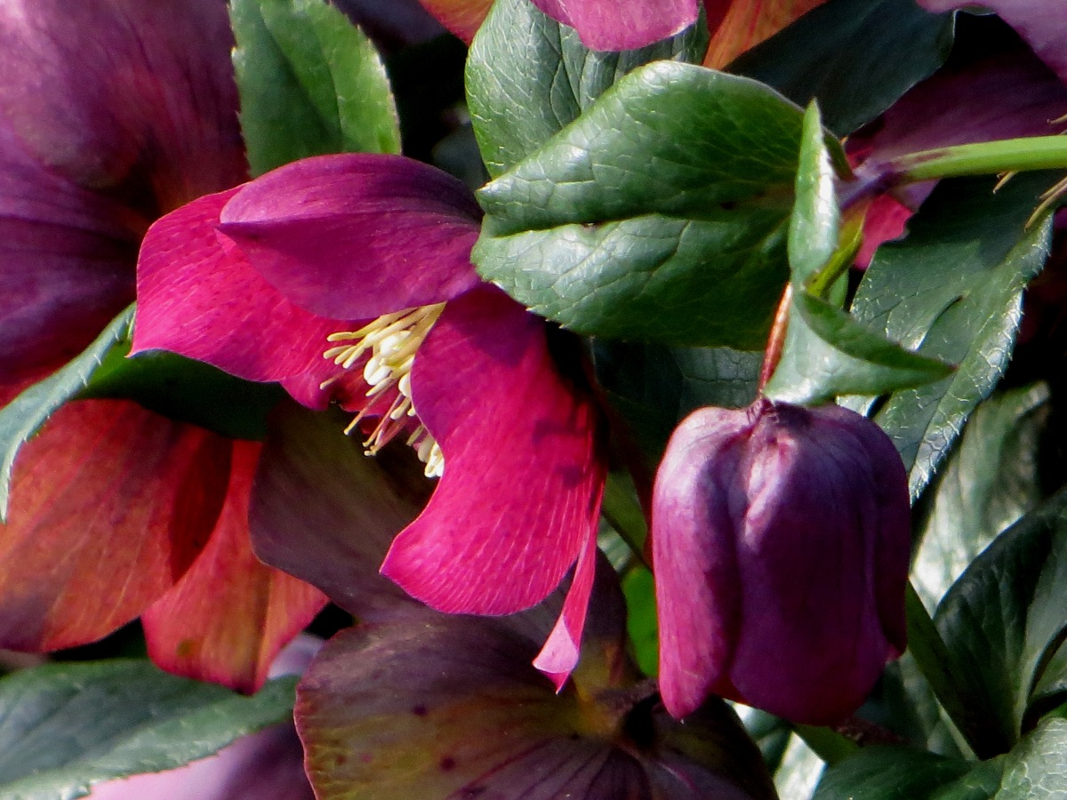 Hellebores in Brunswick Square