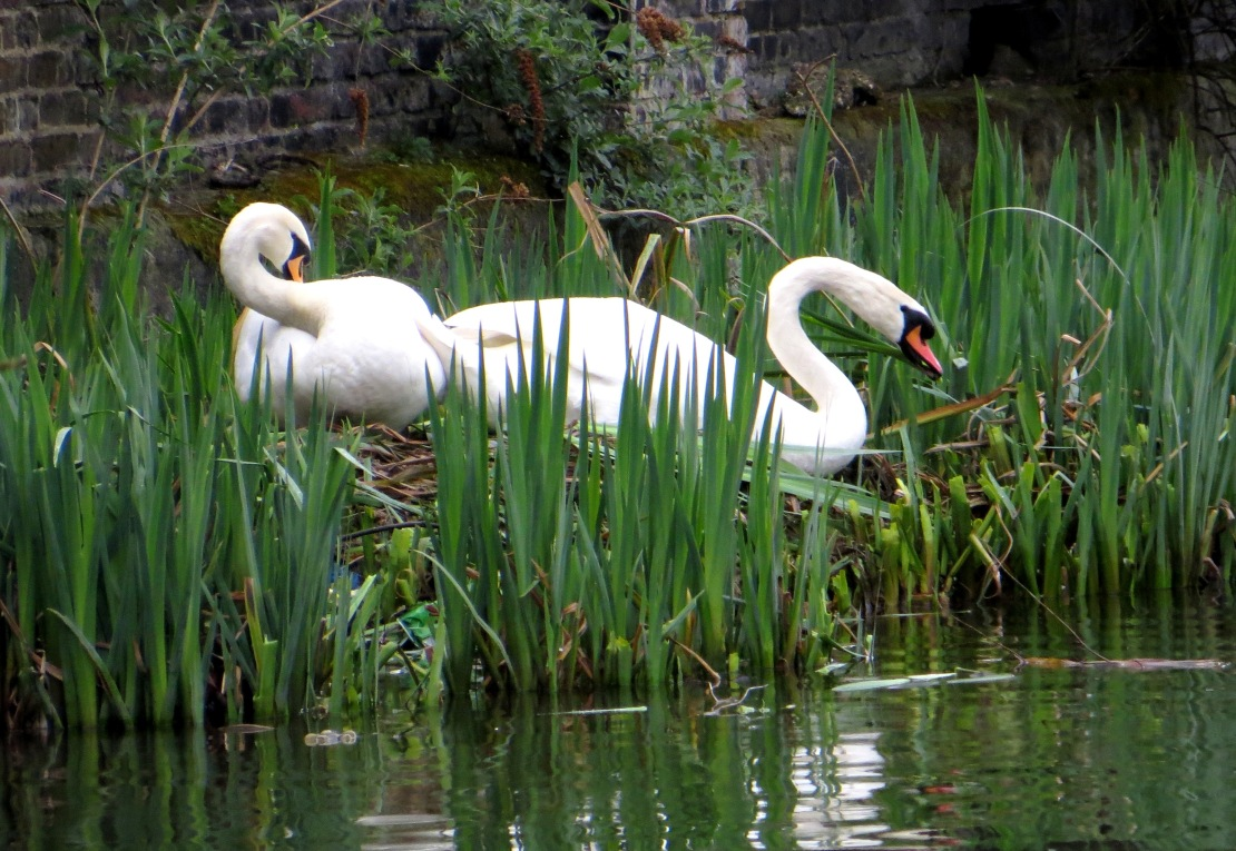 Swans nesting on the Regent's Canal