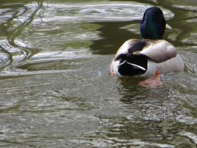 Cruising duck!
