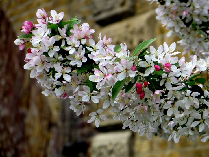 Ornamental fruit tree