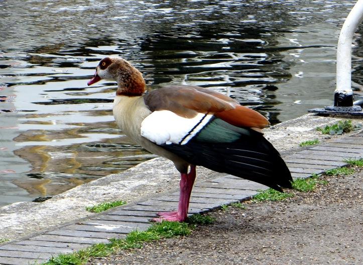 Egyptian goose?