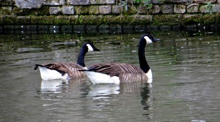 Cruisin' Canada Geese