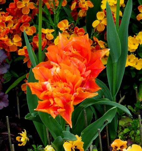 Tulips in Regent's Park
