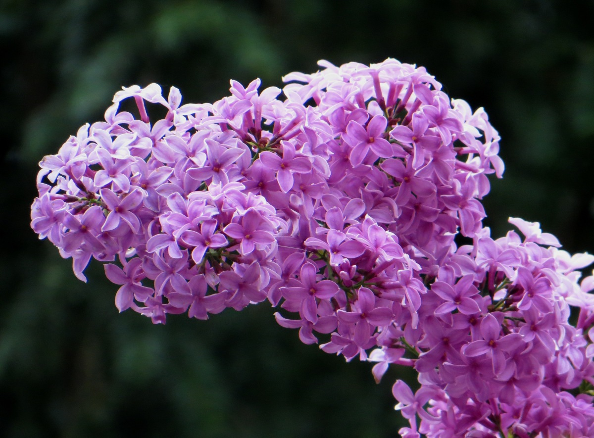 Lilac in Regent's Park