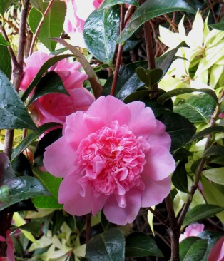 Camellias in Greenwich Park