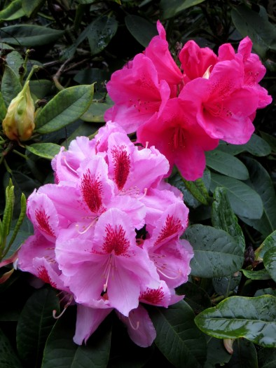 Pink rhododendrons in Greenwich Park