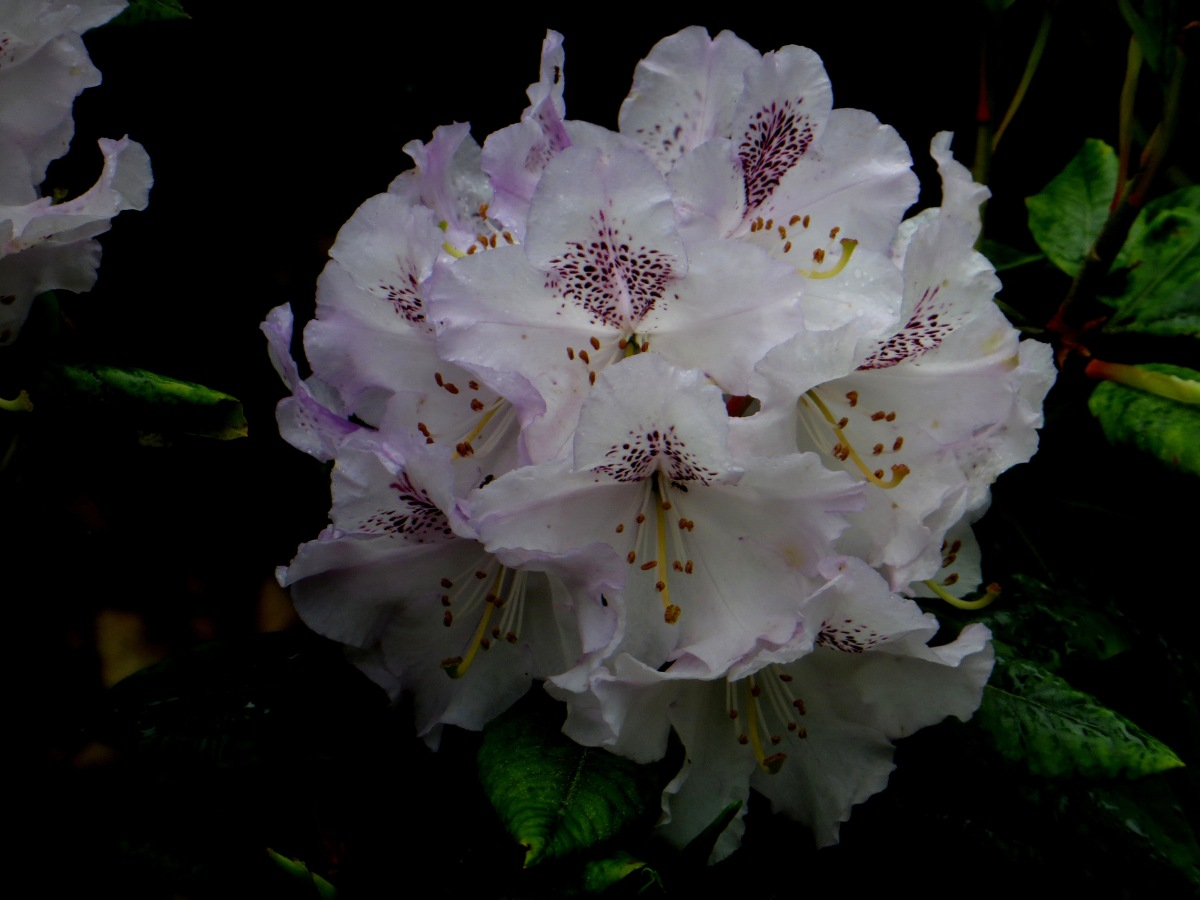 White rhododendrons in Greenwich Park