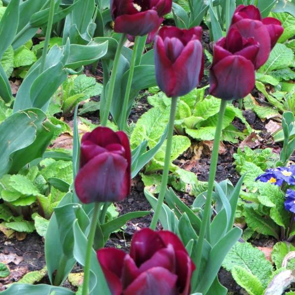 Purple tulips in Greenwich Park