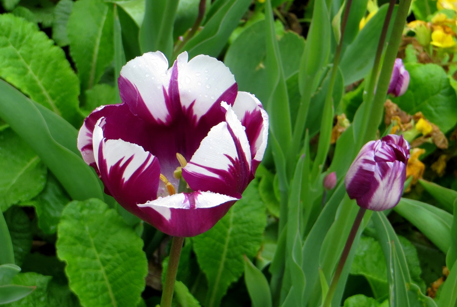 Purple striped tulips in Greenwich Park