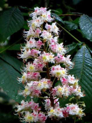 Chestnut Tree Flowers