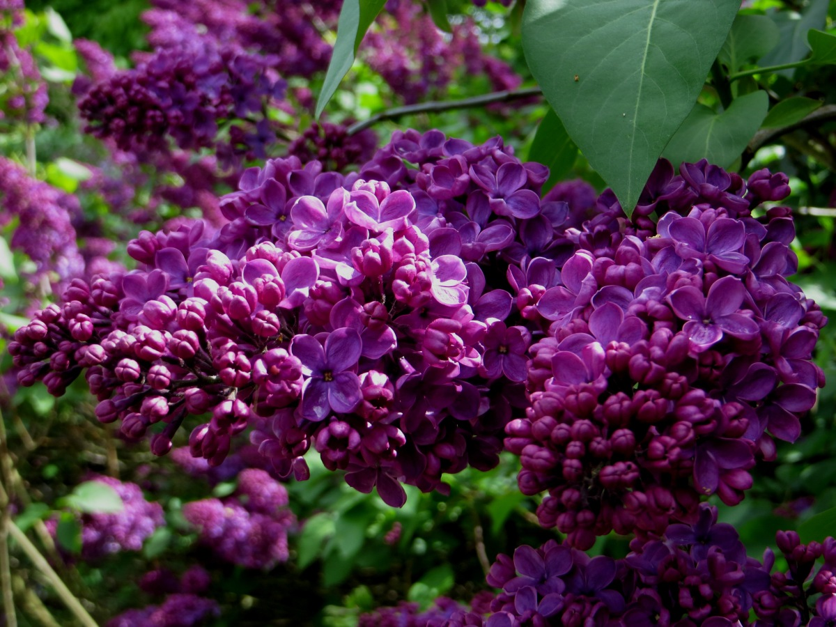 Lilac in Greenwich Park