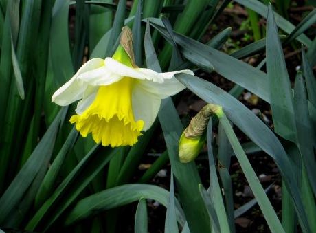 Spring daffodils in Wilmington Square