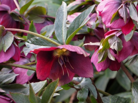 Hellebores in Wilmington Square in Spring