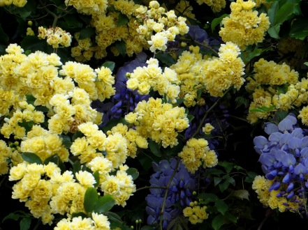 Rosa Banksia and Wisteria