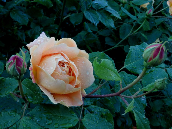 Rose in Greenwich Park