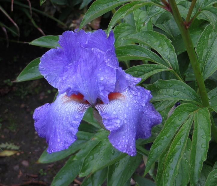 Blue Iris - 'Blue Rhythm?