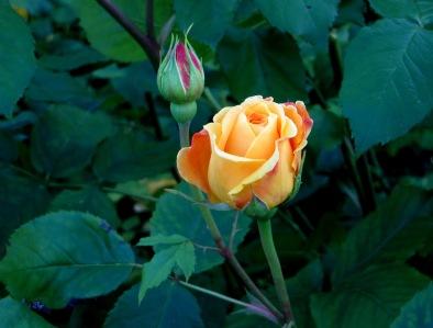 Rose in Greenwich Park