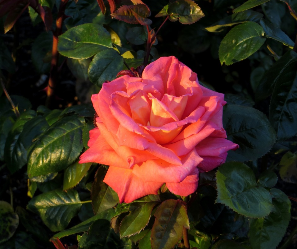 Roses in Greenwich Park