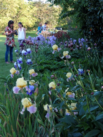 Irises in Greenwich Park