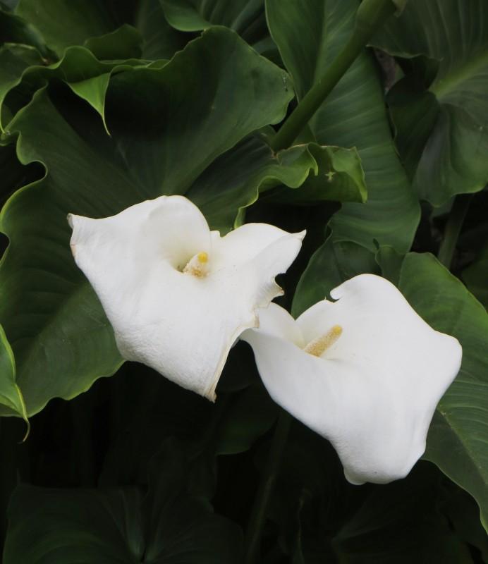 Arum lilies in Barnsbury