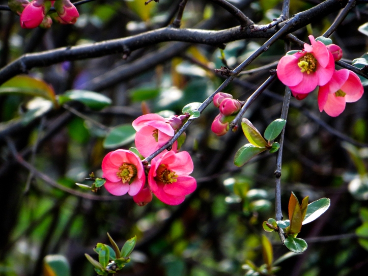 Ornamental quince in Myddelton Square