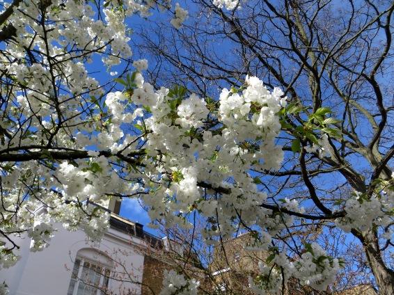 Flowering cherries at Barnsbury Square