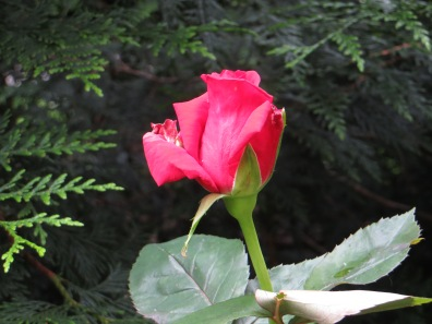 Unknown rose